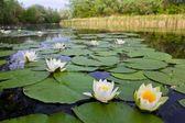 Rzeki lato lilie — Zdjęcie stockowe