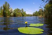 Lírio amarelo de água em um rio — Foto Stock