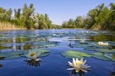 Summer lake with lilies — Stockfoto