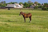 Lindo cavalo marrom em um pasto — Foto Stock