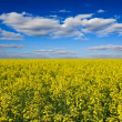 Stock Photo: Yellow rape field