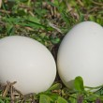 dvě ptačí vejce v zelené trávě — Stock fotografie
