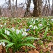 Forest glade in a snowdrops — Stock Photo