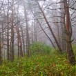 Misty pine forest — Stock Photo