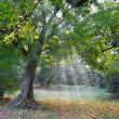 Oak in forest glade in rays of sun — Stock Photo #7982857