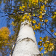 Stock Photo: Slender autumn birch barrel