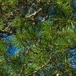 Pine tree branches as background — Stock Photo