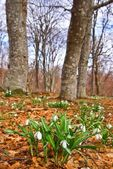 Snowdrops in a spring forest — Stock Photo