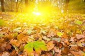 Dry autumn leaves in a rays of sun — Stock Photo