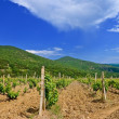 Stock Photo: Summer vineyard
