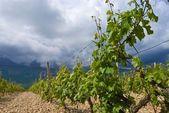 Closeup vine — Stock Photo