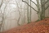 Autumn beech forest in a myst — Stock Photo