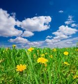 Yellow dandelion in a green grass — Stock Photo