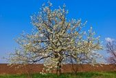 Apple tree in a blossom — Stock Photo