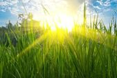 Closeup green grass in a rays of morning sun — Stock Photo