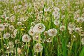 White dandelion field — Stock Photo