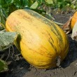 Oval ripen pumpkin — Stock Photo #8010156