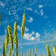 Green wheat ears on a blue sky background — Stock Photo