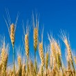 Stock Photo: Ears of wheat on a blue sky background
