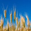 Ears of wheat on a blue sky background — Stock Photo