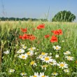 White camomile and red poppy - Stock Photo