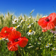 Red poppies and white camomiles - Stock Photo