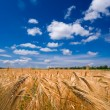 Wheat field by a summer day — Stock Photo