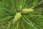 Closeup green pine cone — Stock Photo