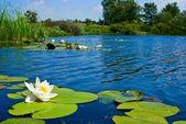 夏天湖与百合 — 图库照片