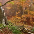 Old beech in a wet misty forest — Stock Photo
