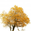 Autumn gold tree on a white background — Stock Photo