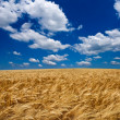 Summer wheat field — Stock Photo #8063118