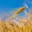 Closeup wheat ear on a sky background — Stock Photo #8063126