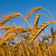 Golden wheat ears on a blue sky background — Stock Photo