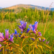 Beautiful steppe flowers — Stock Photo