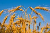 Summer wheat ears — Stock Photo