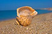 Shell Marine sulla costa del Mar — Foto Stock