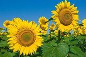 Nice büyük ayçiçekleri — Stok fotoğraf