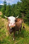 Cow on a pasture — Stockfoto