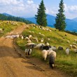 Sheep herd on a mountain pasture — Stock Photo #8077289