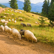 Sheep nerd on a mountain road — Stock Photo