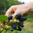 Collecting blackberry — Stock Photo
