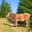 Stock Photo: Cow in a forest