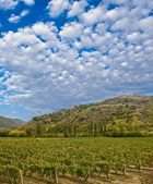 Vineyard in a mountain valley — Stock Photo