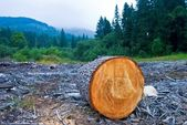 Pine log on a forest glade — Stock Photo