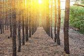 Dennenbos in een stralen van de zon — Stockfoto