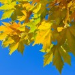 Sycamore autumn foliage on a blue sky background — Stock Photo