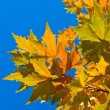 Golden autumn foliage on a blue sky background — Stock Photo