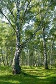 Birch grove by a summer day — Stock Photo