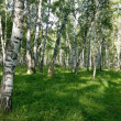 Spring birch forest — Stock Photo #8130019